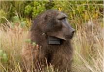 gps Baboon tracking collar